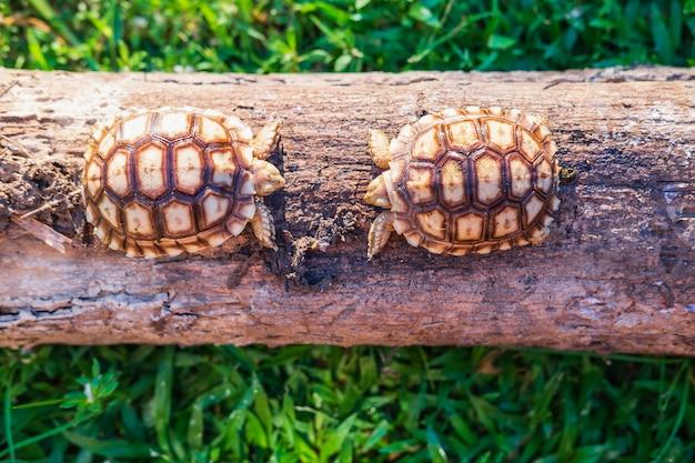Deux tortues sukata dans la forêt
