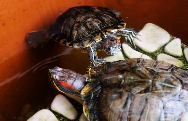 Deux tortues à ventre jaunes mignonnes