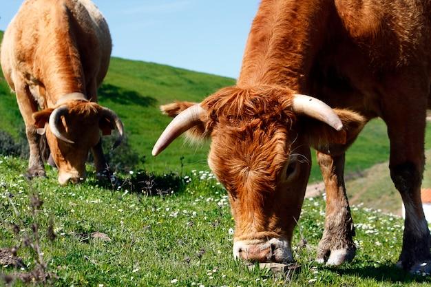 Deux vaches brunes mangent l'herbe verte sur les collines.