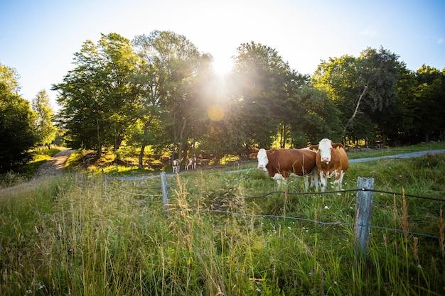 Deux vaches debout om pâturage derrière la clôture en été.