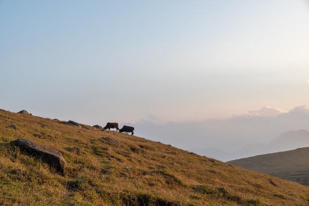Deux vaches est sur la prairie flétrie