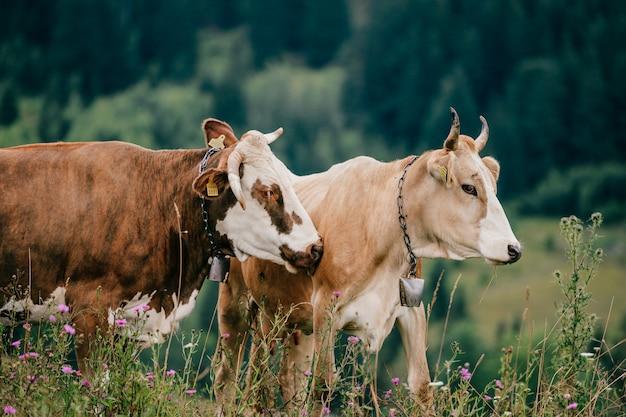 Deux vaches paissant dans les montagnes.