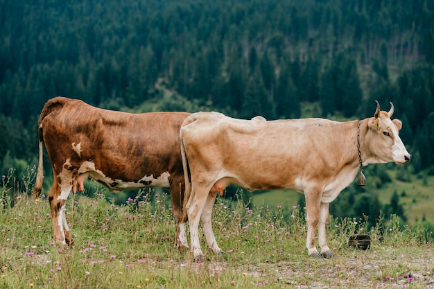 Deux vaches paissant dans la nature