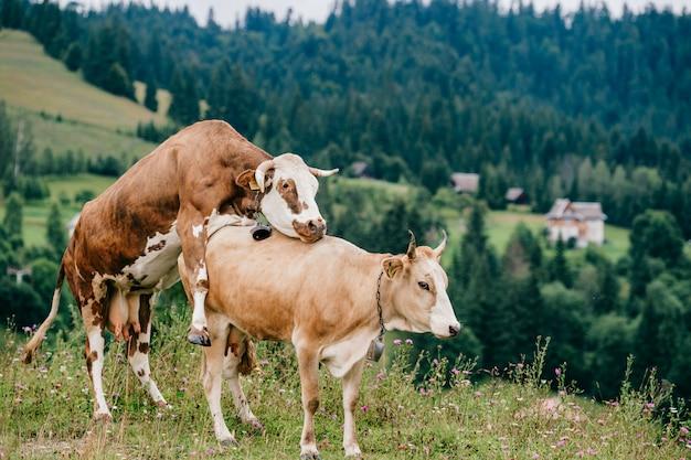 Deux vaches qui font l'amour dans les montagnes.