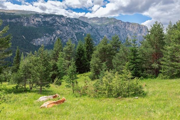 Deux vaches se reposent dans l'herbe sur une haute prairie alpine dans les dolomites italiennes.