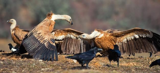 Deux vautour fauve (gyps fulvus) et sifflent l'un à l'autre.