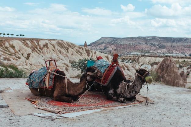 Deux vieux chameaux fatigués dans la vallée de l'amour