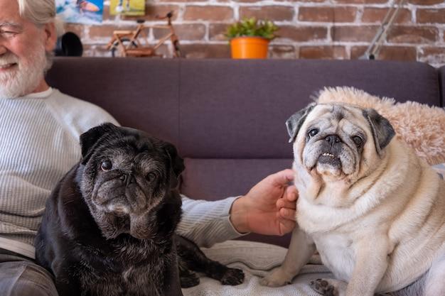 Deux vieux chiens carlin assis sur un canapé à la maison près de leur propriétaire, regardant la caméra