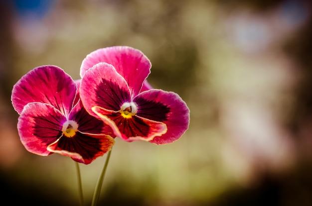 Deux violettes