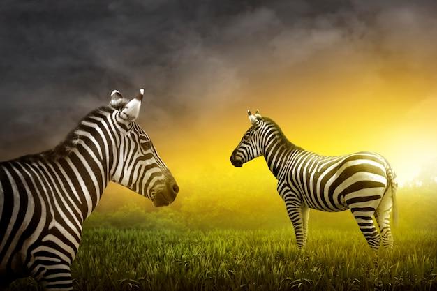 Deux zèbres dans la prairie