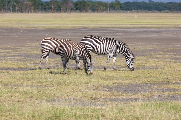 Deux zèbres dans les prairies, en afrique. kenya
