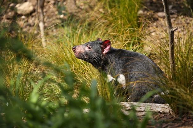 Le diable de tasmanie pose dans une belle lumière