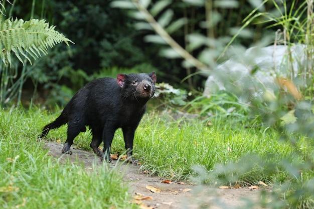 Diable de tasmanie. sarcophilus harrisii