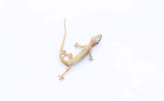 Die lizard sur fond blanc