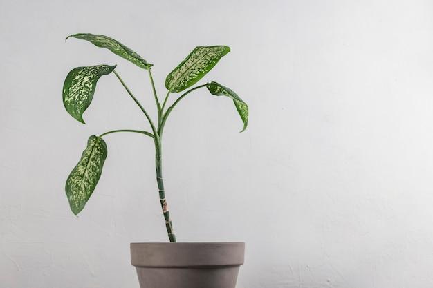 Dieffenbachia dans un pot sur fond gris. feuilles vertes dans un intérieur minimaliste. fond avec espace copie
