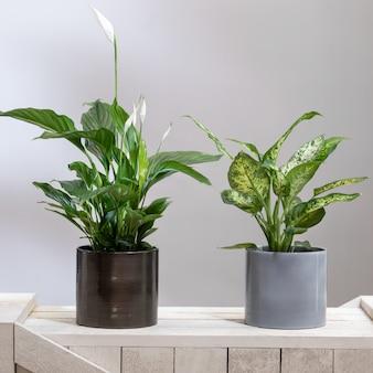 Dieffenbachia dumb cannes avec peace lily, plante spathiphyllum