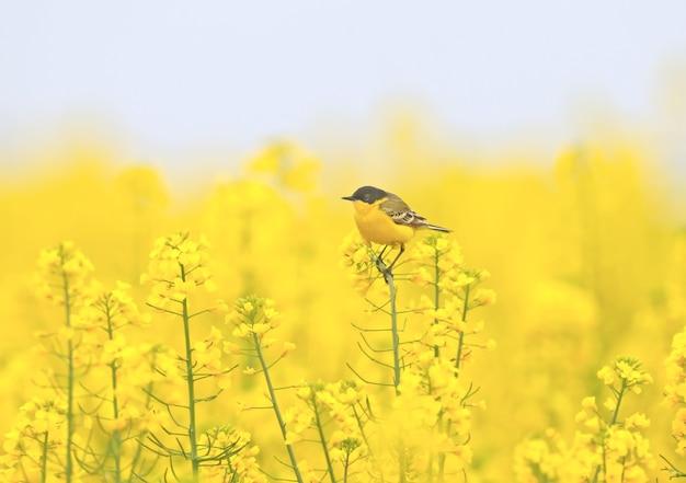 Différentes bergeronnettes sont assis sur des branches de colza incroyablement jaunes de belles images