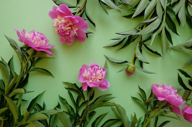Différentes pivoines roses avec des feuilles sur fond vert