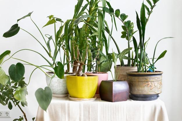 Différentes plantes d'intérieur sur une table dans un intérieur blanc. concept de jungle domestique