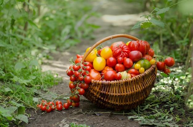 Différentes tomates dans un panier avec de la végétation à l'arrière