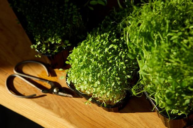 Différents microgreens dans les plateaux sur table en bois, lumière dure, gros plan, copiez l'espace. jardinage domestique, végétalien, alimentation saine, superaliments.
