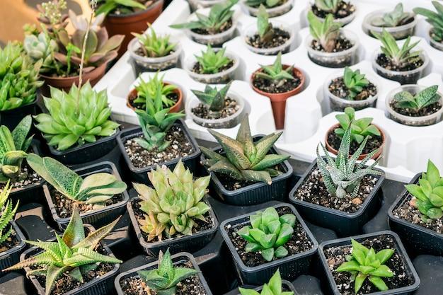 Différents types de pots de plantes succulentes - echeveria, sempervivum, plantes à fleurs pour le commerce