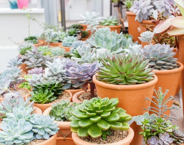 Différents types de succulents dans des pots de fleurs dans la serre