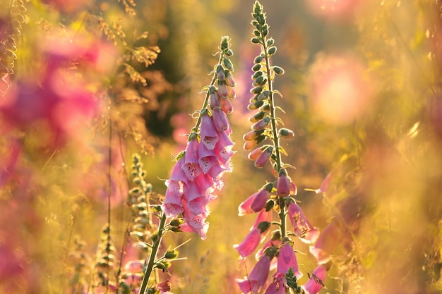 Digitale pourpre - digitalis purpurea pendant le lever du soleil