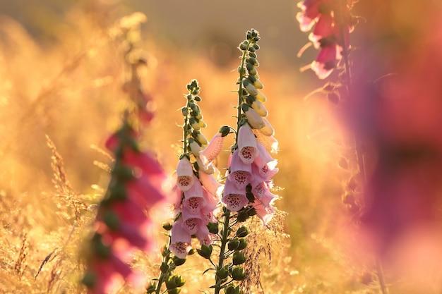 Digitale pourpre digitalis purpurea pendant le lever du soleil