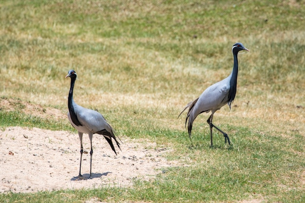 Dimoiselle crane. oiseau. animaux.