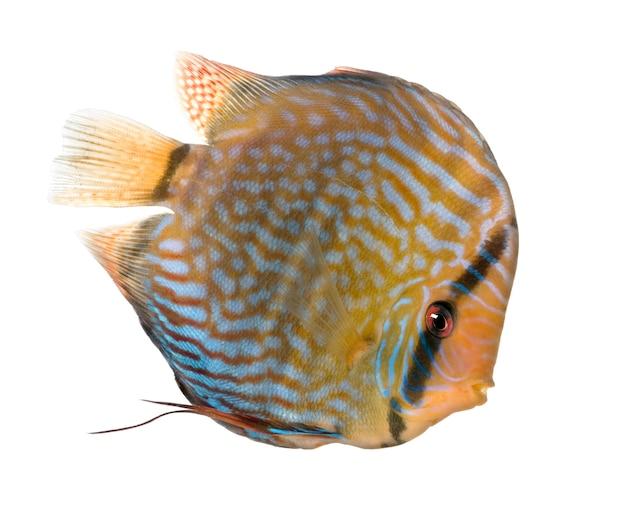 Discus turquoise rouge (poisson) - symphysodon aequifasciatus sur un blanc isolé