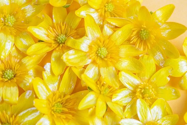 Une dispersion de fleurs printanières jaunes sur un fond uni