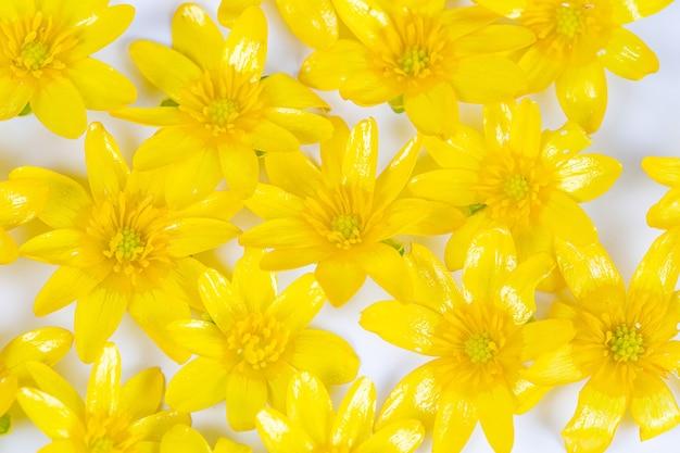 Une dispersion de fleurs de printemps jaunes sur fond blanc