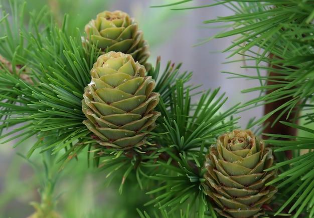 Disposition faite d'aiguilles de pin et de cônes fond nature fond de forêt cônes de mélèze se bouchent