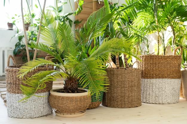 Divers palmiers dans des pots en osier sur plancher en bois dans la salle de séjour