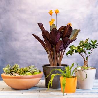 Diverses plantes avec calathea crocata tassmania, plante de prière et bonsaï