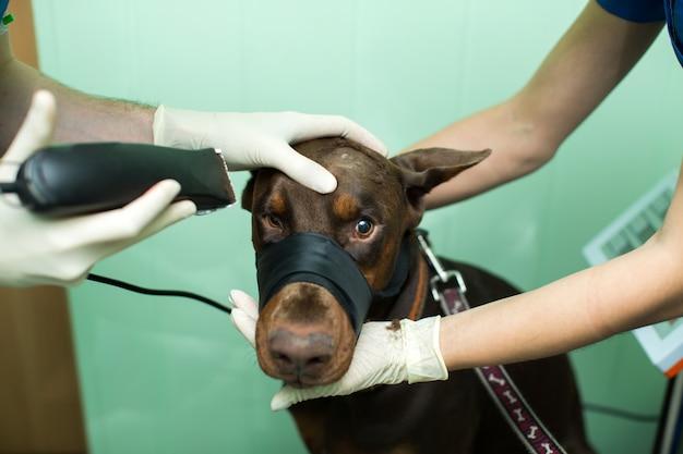 Doberman chien d'inspection vétérinaire