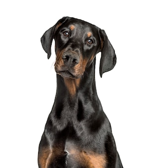 Doberman contre isolated on white