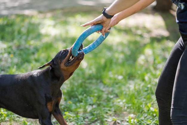 Doberman pinscher jouant avec une femme. formation du chien.