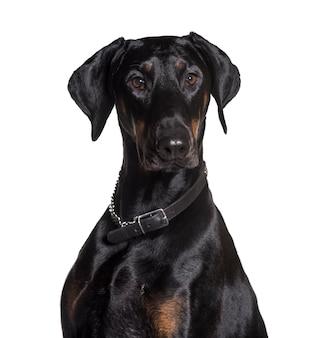 Doberman portant un collier, regardant la caméra contre une surface blanche