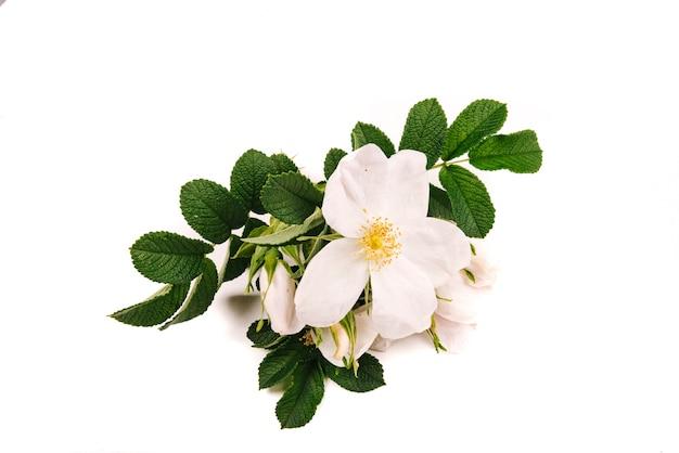 Dog rose (rosa canina) fleurs et fruits sur fond blanc