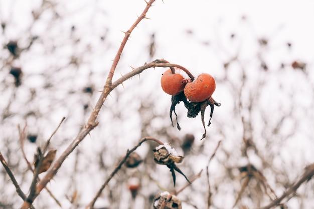 Dogrose recouvert de neige dans la forêt d'hiver