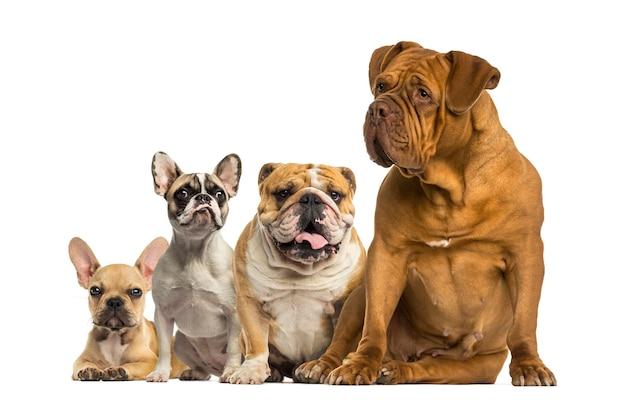 Dogue de bordeaux et bulldogs assis et couché