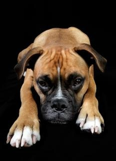 Dogue portrait de chien