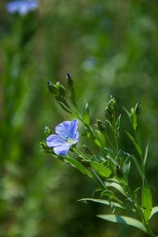 Domaine agricole de belles plantes et fleurs de graines de lin, domaine de l'agriculture.