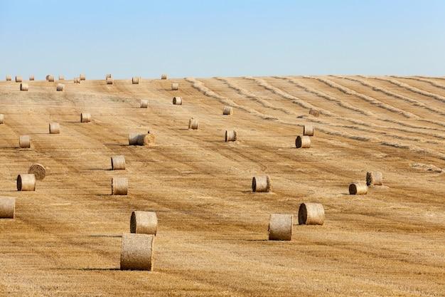 Domaine agricole sur lequel empilés des meules de paille après les récoltes de blé
