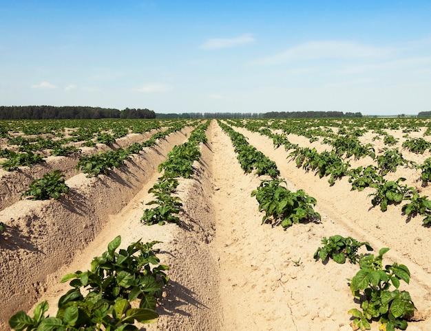 Domaine agricole sur lequel pousse des pommes de terre vertes l'heure d'été