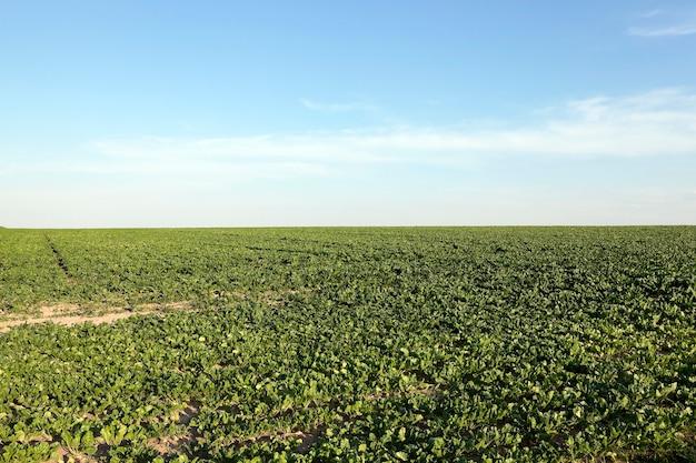 Domaine agricole sur lequel poussent des betteraves pour la production de sucre