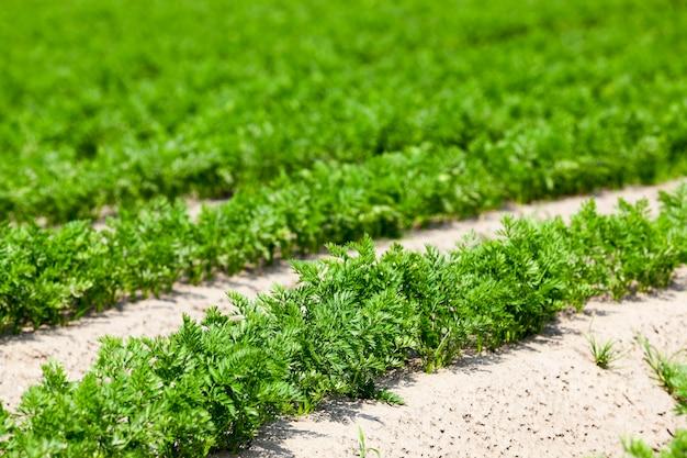 Domaine agricole sur lequel poussent des carottes. carottes végétales vertes