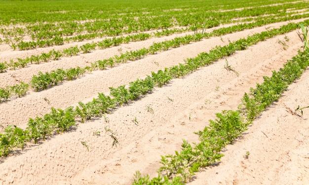 Domaine agricole sur lequel poussent des carottes.